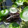 金魚産卵終わり、池を夏配置に模様替え