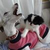 ウィペットのあーちゃんと、カミカミ狆の小さいお姫ちゃんと、縞猫ね~さん♪