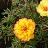 「明日への希望」と「ご縁結び」のマツバボタン  in  マイ猫のひたい花壇