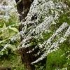 奈良町 風光る春/木の芽があっという間に伸び広がり、春の花が晴れがましく風に揺れています。
