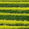おととしから植えはじめたアジサイが咲き始めた 豊後高田市の長崎鼻
