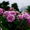 PENTAX K-5+Industar 50☆山下公園のバラ