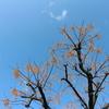センダンとユリノキと~街路樹たち