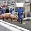 ブタ19頭、トラック事故で逃げる 阪神高速が通行止め
