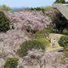 しだれ桜まつり2016 幸田町