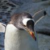 独断と偏見のペンギン図鑑1:ジェンツーペンギン