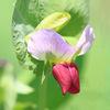 今日の誕生花「ツタンカーメンのエンドウ」3300年前から現代に蘇る!