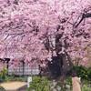2020年2月 伊豆半島 河津桜ツーリング