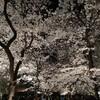 夜桜に出会えた