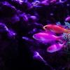 【アクアリウム】アカネハナゴイ おすすめ海水魚