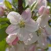 りんごの花が咲くころは…