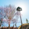 或る奈良の桜