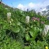 植物と友達になろう! VOL.08 「ウルップソウ」