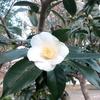 白侘助とブルーベリーの紅葉