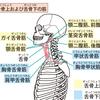 最強の筋肉を考えてみた!【歯列に影響する舌筋】Part2