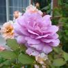 秋になってきたということですかね…「ノヴァーリス」の花の色が濃くなってきたから