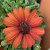 シックな花色「オステオスペルマム」。この春は「ディモルフォセカ」と「アークトチス」をはじめて育ててみる。