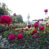 ミモザ・ガーデンの日記 深大寺のバラ