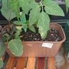 ナス苗の植え替えとトマトの脇芽の除去