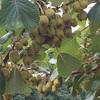 #14 キウイフルーツ 実が生り過ぎ