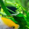 エンゼルフィッシュの稚魚 成長記録