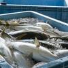 2020年5月25日 小浜漁港 お魚情報