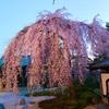 【京都🌸桜巡り2021🌸】京都の桜を駆け足で巡る旅🚌