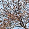 桜・サクラ・さくら・・・