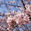 枝垂れ梅と寒桜