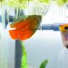 熱帯魚の産卵