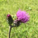 Thistle craftmemo