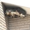 豊橋市で軒下に出来た巨大なアシナガバチの巣を駆除してきました!