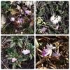 【柏崎市・西山】今が旬!「大崎 雪割草の里」は可憐な花を見ながらプチハイキングが楽しめます^^