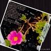 初めて冬越しさせてみたポーチュラカの開花第1号です