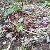 庭の観察。スミレ咲く。ギボシの芽は赤い。