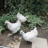 小さな庭の、鶏と私の攻防戦