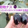 初物ナスはピンポン玉サイズで収穫!~その理由は??~ベジヲタ畑 Day74~