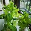 スポンジ水耕栽培で始めた大葉とサニーレタス(1ヵ月と1週間目)