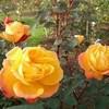 枝分かれリストとアンネのバラ