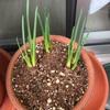 花芽も大きくなってきた!