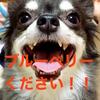 超カンタン、犬オヤツ。ブルーベリーで老化防止にガン予防