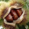 栗 基本情報5 クリの花 / 実 :栗の花は花穂になり,下から見えるのは雄花だけ.雌花は,花穂の基部にあって,三つの子房が,将来のイガ=総苞につつまれています.私たちが食べているクリの実の大部分は養分をため込んだ子葉.その点は大豆と同じですが,芽を出すときのクリは,子葉を土の中に残したままです.// 丹波栗 大き実照りの 豊かなる 古国に還り 座さむか母よ 馬場あき子