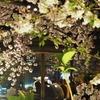 最終日に滑り込み!3年振りの「祇園白川さくらのライトアップ」に感謝♡、とお食事スポット【2019年・京の桜】