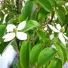「常緑ヤマボウシ」の春夏秋冬!庭のシンボルツリーで四季が楽しめる☆