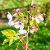 葉桜から届いた歌声