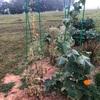キュウリもそろそろ収穫が終了… 10月まで継続するために種を急いで撒きました…間に合う??