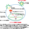 056【HIVの感染からAIDS発症までのメカニズム(その2)】HIV感染症(その2)