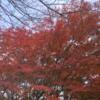 """紅葉 """"もみじ""""がきれいです。 (12月10日現在)"""