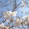 光と瞬 vol.44 桜咲く茅場町