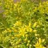 セダム ゴールドビューティの花